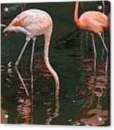 Cartoon - A Flamingo With Its Head Under Water In The Jurong Bird Park Acrylic Print