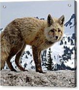Cascade Red Fox 1 Acrylic Print