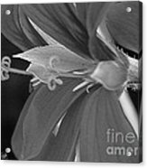 Cascading Ivy Geranium Named Decora Fire Acrylic Print
