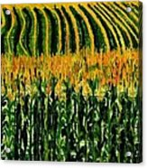 Cash Crop Corn Acrylic Print