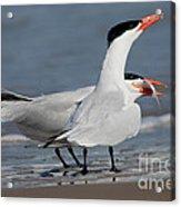 Caspian Tern Giving Fish To Mate Acrylic Print