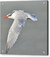 Caspian Tern In Flight Acrylic Print