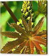 Castor Bean Leaf And Pod Acrylic Print