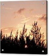 Casurina Sunset Acrylic Print