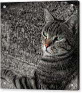 Cat Bicolored Acrylic Print