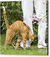 Cat Brushing Against Legs Acrylic Print