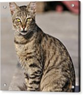 Cat In Aegina Island Acrylic Print