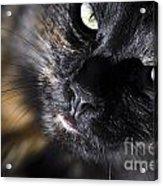 Cat Looking Up Acrylic Print