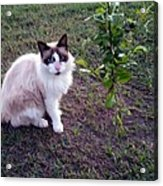 Cat 'n Orange Tree Acrylic Print