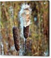 Cat Tail Seeds Acrylic Print