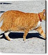 Cat Walk Acrylic Print