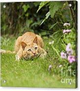 Cat Watching Prey Acrylic Print
