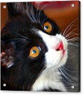 Innocent Kitten Acrylic Print