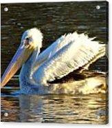 Catahoula Pelican Acrylic Print