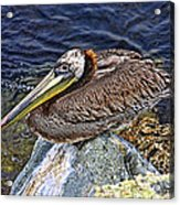 Catalina Pelican Acrylic Print