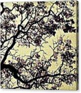 Catalpa Tree Gold Acrylic Print