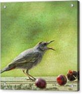 Catbird Eating Cherries Acrylic Print