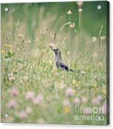 Catbird In The Wildflowers Acrylic Print
