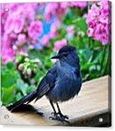 Catbird On Hunt Acrylic Print
