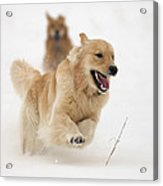 Catch Me If You Can Acrylic Print by Vic Harris
