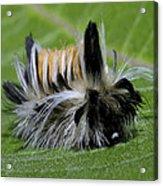 Caterpillar 22 Acrylic Print