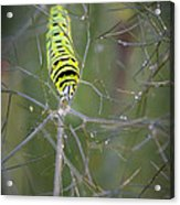 Caterpillar On Fennel In The Morning Dew Acrylic Print