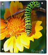 Caterpillar On The Prowl Acrylic Print