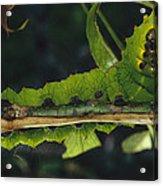 Caterpillar Tam Dao Np Vietnam Acrylic Print