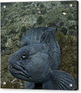 Catfish. Acrylic Print