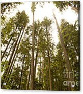 Cathedral Forest Acrylic Print