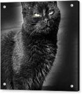 Cats 55 Acrylic Print