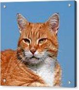 Cats 58 Acrylic Print