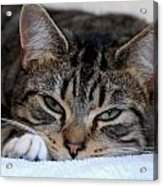 Cats 61 Acrylic Print