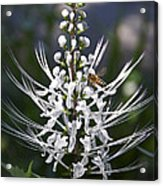 Cat's Whiskers Acrylic Print