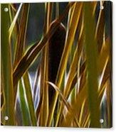 Cattail 2 Acrylic Print