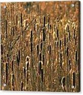 Cattail Marsh Acrylic Print