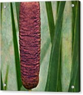 Cattail With Texture Acrylic Print