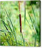Cattails And Reeds Acrylic Print