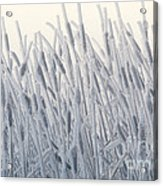 Cattails Typha Latifolia Covered In Snow Acrylic Print