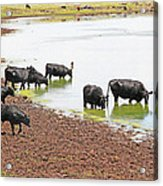 Cattle At Big Lake Arizona Acrylic Print