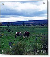 Cattle At Pasture Acrylic Print