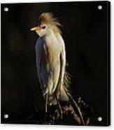 Cattle Egret On Limb Acrylic Print