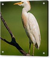 Cattle Egret On Stick Acrylic Print