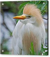Cattle Egret Acrylic Print by Skip Willits