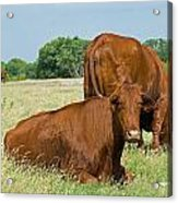 Cattle Grazing In Field Acrylic Print