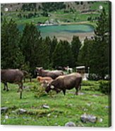 Cattle Grazing In The Pyrenees Acrylic Print