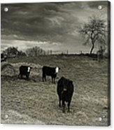 Cattle In The Winter Pasture Series Image 2 Acrylic Print