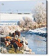 Cattle In Winter Acrylic Print
