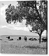 Cattle Ranch In Summer Acrylic Print