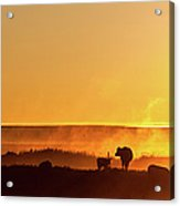 Cattle Silhouette Panorama Acrylic Print